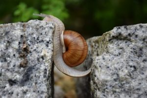 snail stretched out crossing open gap between two rocks