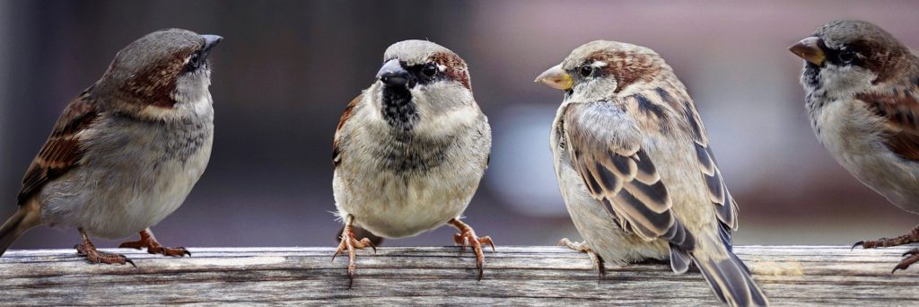 Sparrows conversing in a group trying to influence  one another