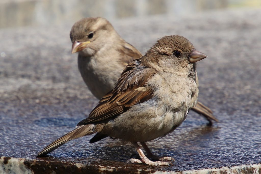 2 Sparrows at odds with each other