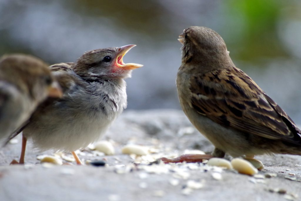 2 sparrows arguing