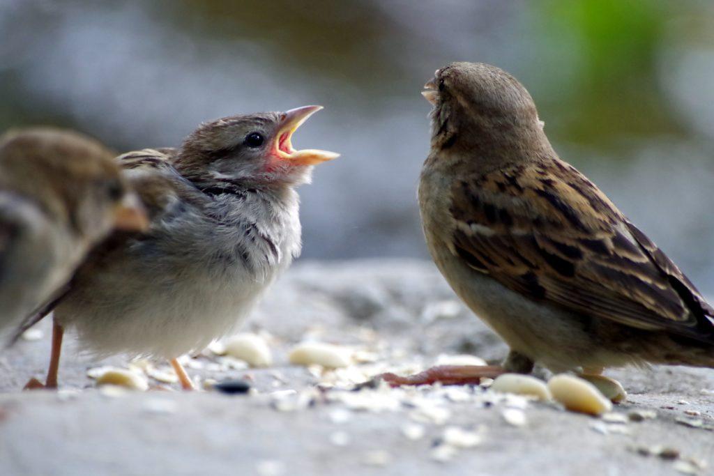 2 sparrows arguing